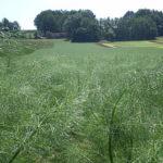 fenchel-und-salatfelder