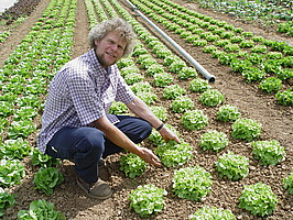 Kompakte feste Salatköpfe, saubere lange Reihen; eine Augenweide