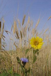 Einkorn = altes Getreide