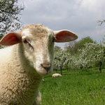 Schafe halten die Wiesen kurz