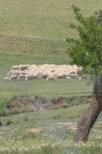 Manchego-Schafe auf der Weide