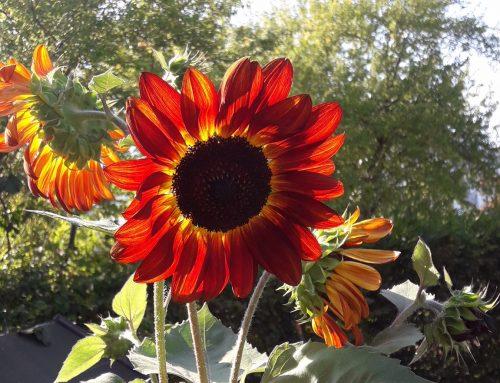 211 cm: Toms (5) Sonnenblume ist am höchsten!