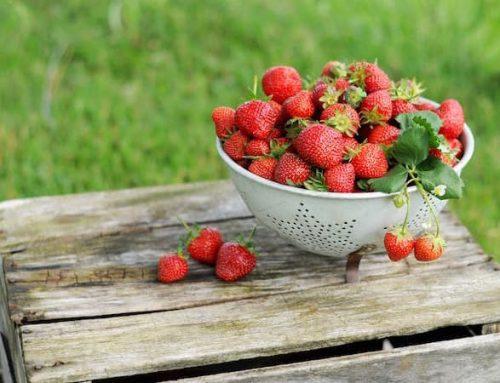 Erdbeeren – warum wir warten!