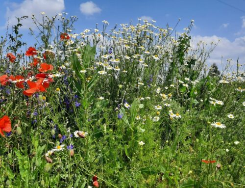 Wildpflanzenführung – Rund ums Paradieschen wächst eine Blütenpracht